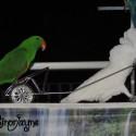 Parrot Gladiators!