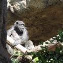 Fashionable Gorilla at Loro Parque